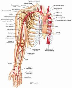 Arteries In The Arm