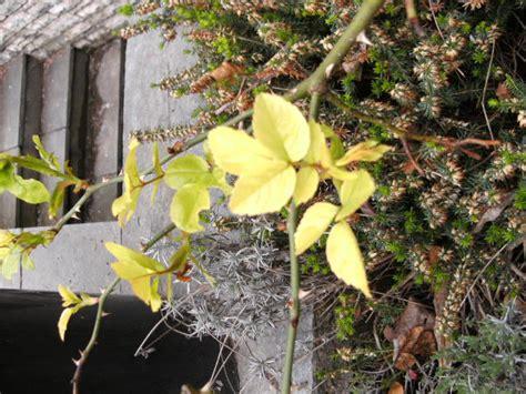 rosen gelbe blätter bekommen gelbe bl 228 tter forum garten forum