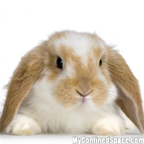 floppy ear bunny floppy eared bunny myconfinedspace