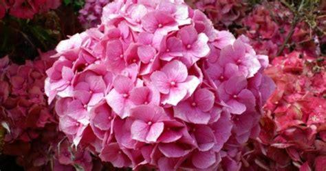 care of hydrangeas in pots fotolia 4103555 xs jpg w 1200 h 630 crop min 1