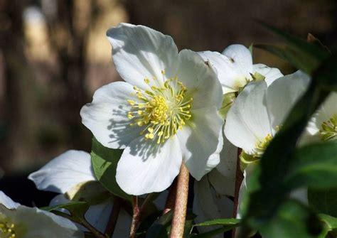 blueht im dezember schneerosen und winter jasmin