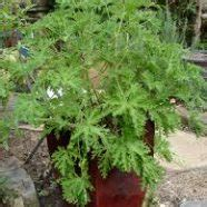 mosquito shoo geranium care how to prevent mosquitoes
