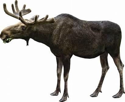 Moose Elk Transparent Eating Deviantart Christmas Background