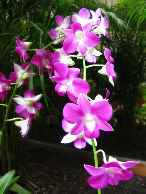 gambar tanaman hias bunga anggrek pernik dunia
