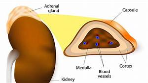 Adrenal Gland  Structure  Location And Hormones