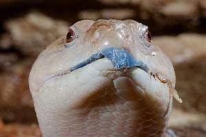 Blue Tongue Skink Handling – Reptile Gallery