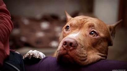 Pitbull Terrier Wallpapers 1920 2470 Tiner American