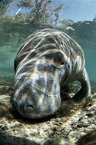 Florida Manatee Endangered Animals