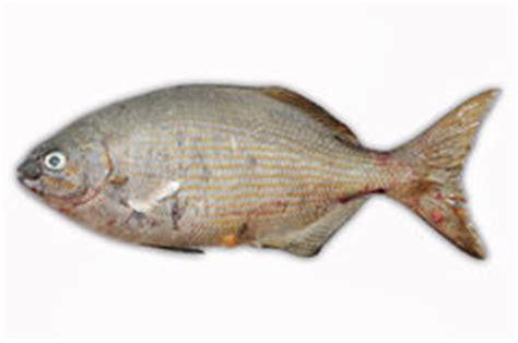Isolat Der Frischen Fische Auf Weißrückseitenboden, Leiste