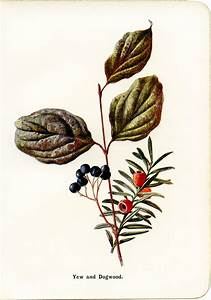 Yew and Dogwood Botanical Illustration - Old Design Shop Blog
