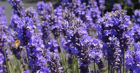 lavender insect repellent plants make your own homemade mosquito repellent