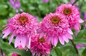 Sonnenhut Pflanze Kaufen : echinacea purpurea 39 razzmatazz 39 roter sonnenhut pflanzenreich ~ Buech-reservation.com Haus und Dekorationen