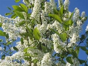 Baum Mit Weißen Blüten : europ ische traubenkirsche prunus padus in unserem online ~ Michelbontemps.com Haus und Dekorationen