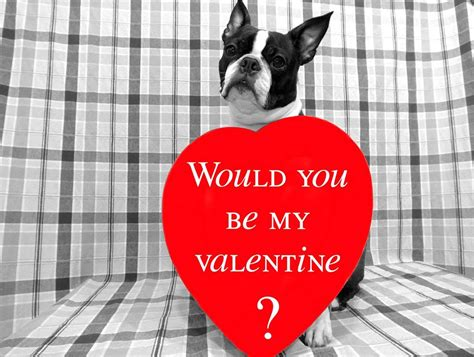 lovely pictures  boston terrier dogs  valentines day