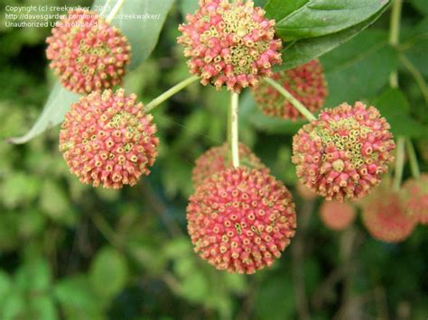 plantfiles pictures buttonbush honey bells honeyball
