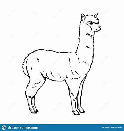 Alpaca Icon Animal Outline Llama