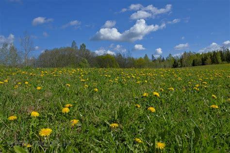 Pavasara ainava. Lauks ar pienenēm - Ārstniecības pienene ...