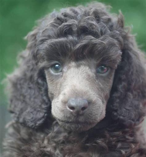 miniature poodle puppy    silver beige