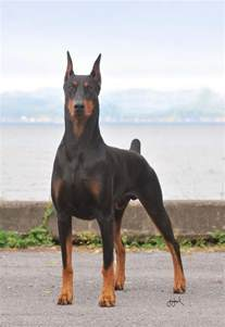 ear pins doberman pinscher all big dog breeds