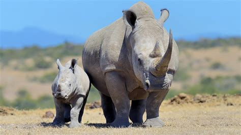African Rhino Poaching