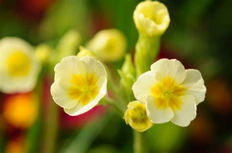 schluesselblume pflanzen pflegen vermehren und mehr