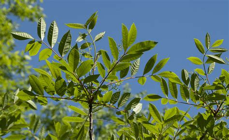 How To Identify Poison Ivy Oak Sumac From The Emergency