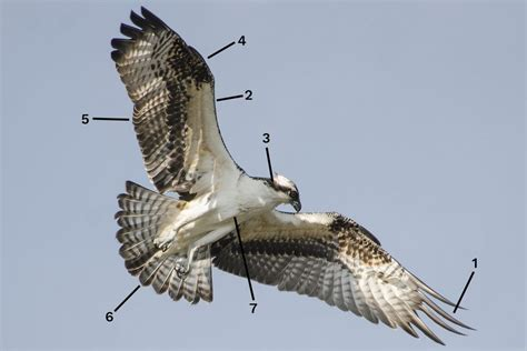 osprey identification