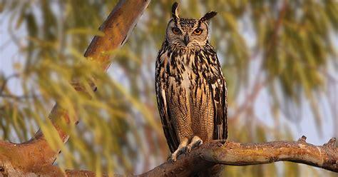 indian eagle owl bubo bengalensis  saleel tambe