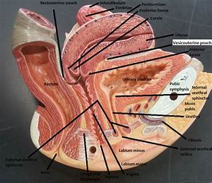 Activity 3  Gross Anatomy Of The Human Reproductive System