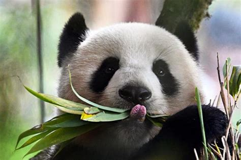 Giant Panda National Park To Boost Species Survival- China