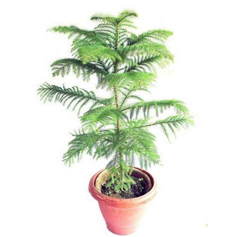 collection root ball christmas tree pictures best