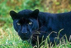 BLACK Panther : I Want to Know What Animal You Were In a ...