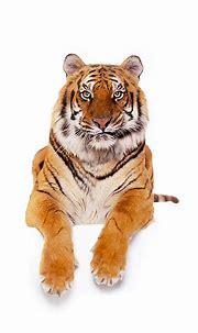 tiger - Animal Stock Photos - Kimballstock