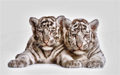 weißer tiger kostüm baby white tiger wallpaper 57 pictures
