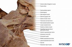 Muscle Of Neck Anatomy