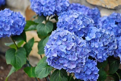 fiori secchi ortensie fiori secchi ortensie fiori secchi ortensie essiccate