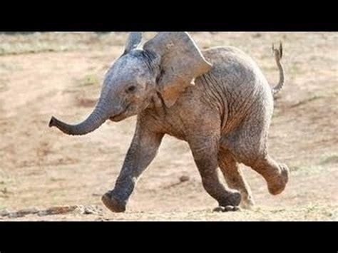 lustige tiere elefanten neues hd video april  youtube