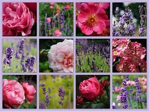 Rosen Und Lavendel : rosen und lavendel foto bild fotokunst collagen aus mind 9 bildern collagen bilder auf ~ Yasmunasinghe.com Haus und Dekorationen