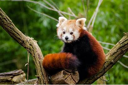 Panda Adorable Velka