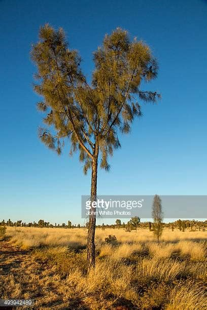 oak australia desert oak stock photos and pictures getty images