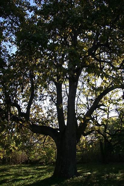 Catalpa Trees Delaware Northern Delawaretrees