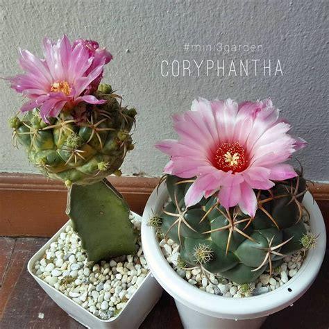 #ผสมเกสร😀😊 #coryphantha #ช้างแคคตัส #ช้างดอกชมพู ...