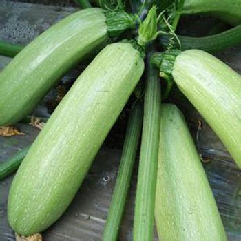 Light Green Squash by Vegetable Seeds Squash Seeds Light Green F1