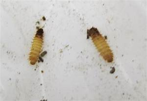 Carpet beetle larvae canada - computer voices for the blind