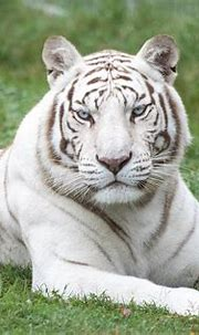 The Source Of All White Tigers   Turpentine Creek Wildlife ...