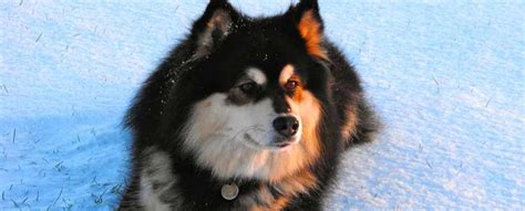 finnish lapphund dog breed info characteristics traits