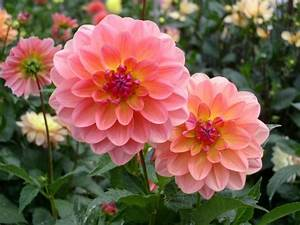 the most beautiful flower in the whole world, dahlias ...
