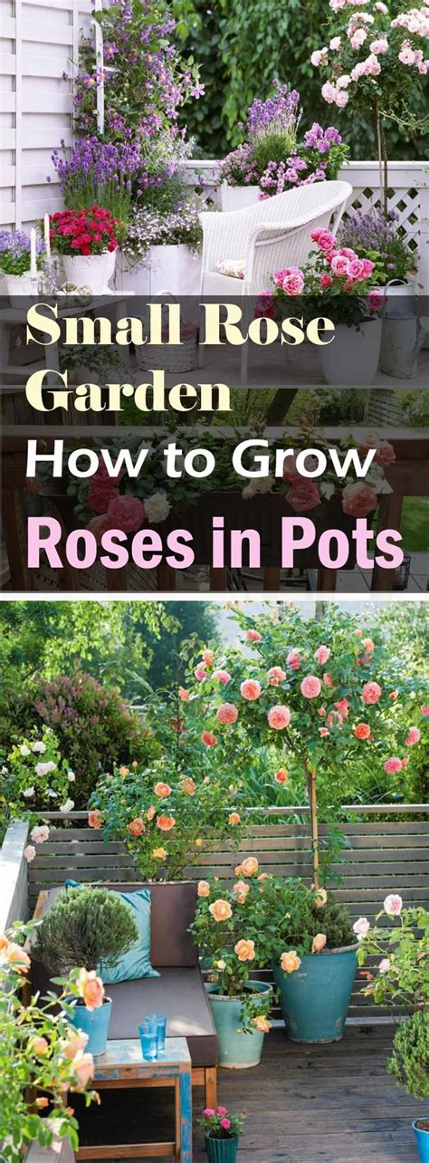 what to grow in a garden small garden growing roses in containers balcony
