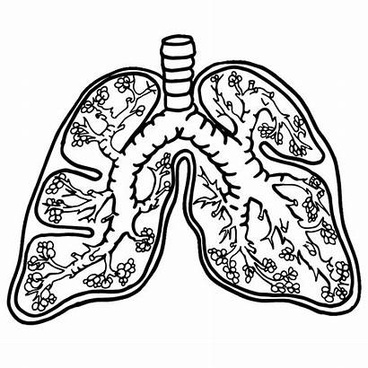 Lungs Clipart Anatomy Drawing Lung Human Heart