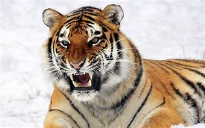 Siberian Tiger HD Wallpapers